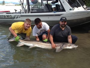 sturgeon, white sturgeon, bc sturgeon, fraser river sturgeon, sturgeon fishing, sturgeon fishing canada, white sturgeon fishing canada, sturgeon fishing chilliwack